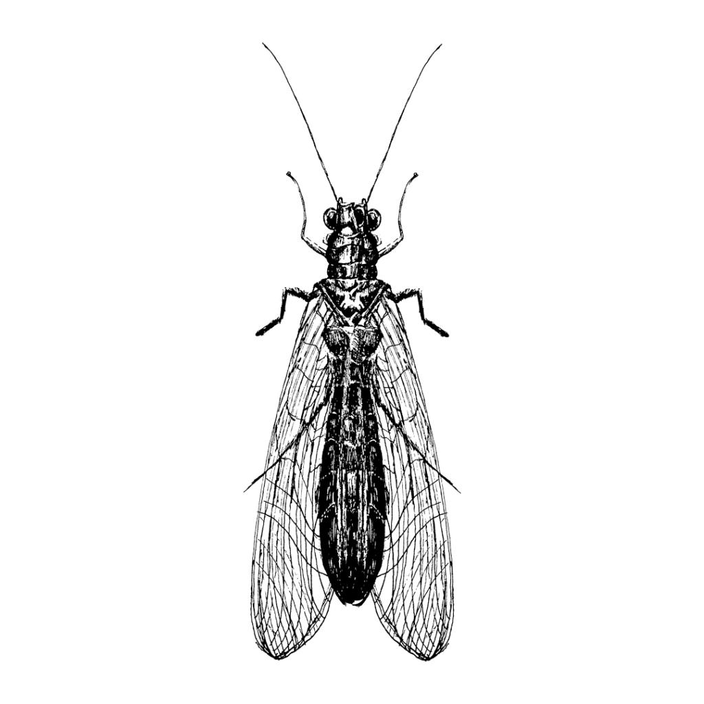 FKK_Insekten_Florfliege_weiss