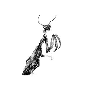 FKK_Insekten_Gottesanbeterin_weiss
