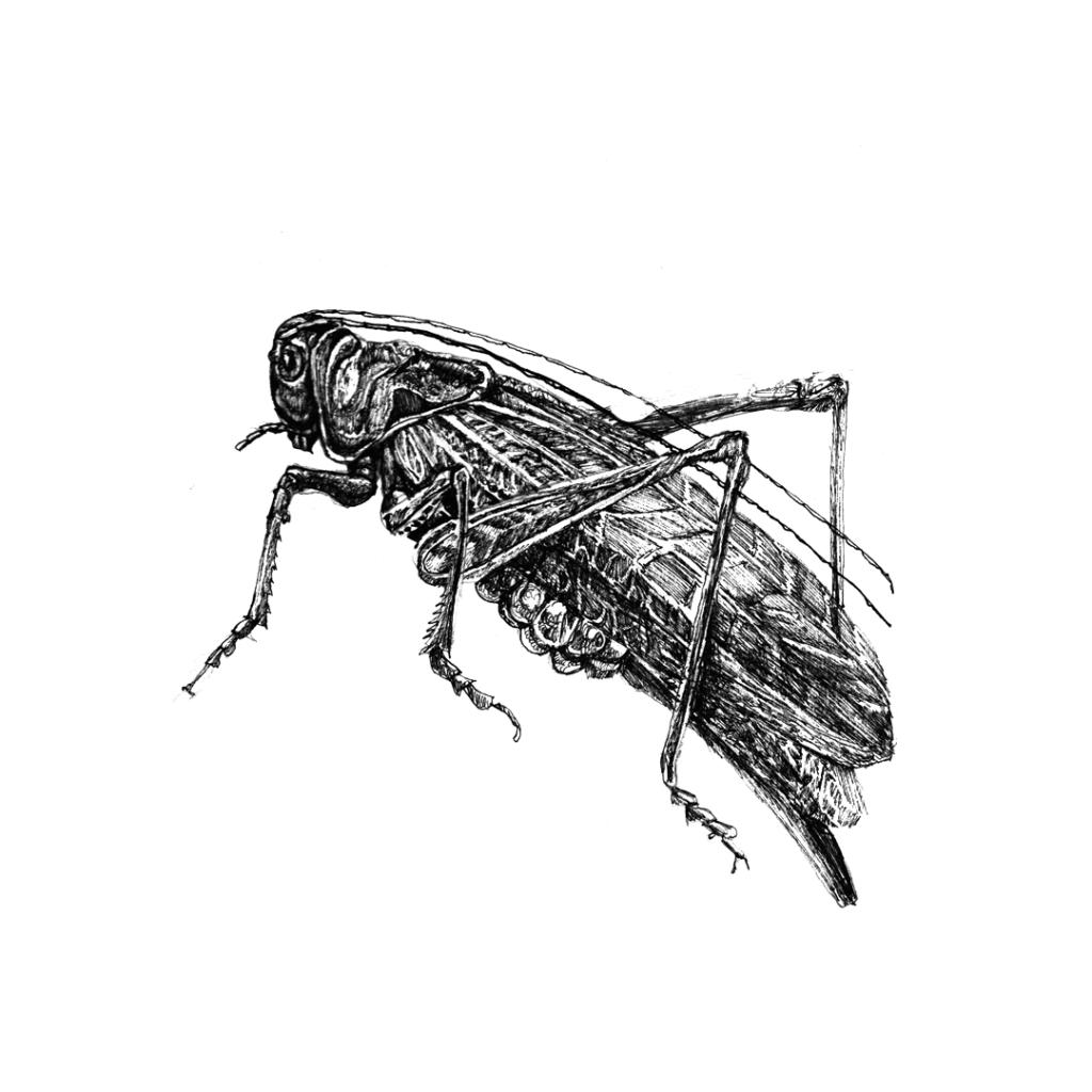 FKK_Insekten_Heuschreck_weiss