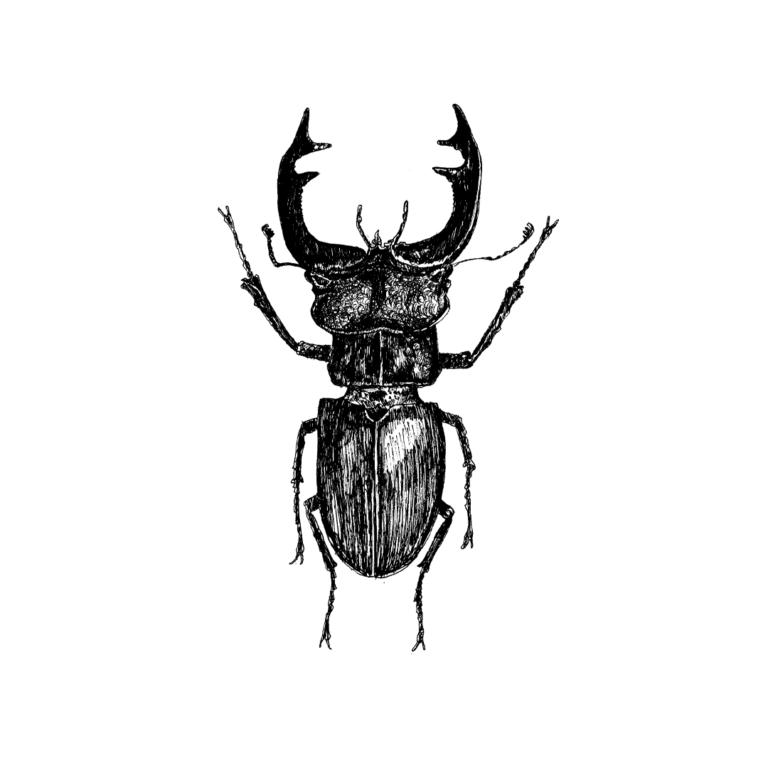 FKK_Insekten_Hirschkaefer_weiss