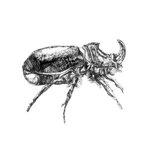 FKK_Insekten_Nashornkaefer_weiss