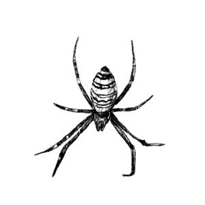 FKK_Insekten_Wespenspinne