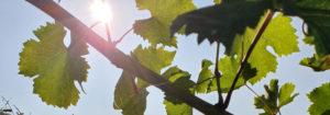 Weinbaugebiete in Österreich im Überblick